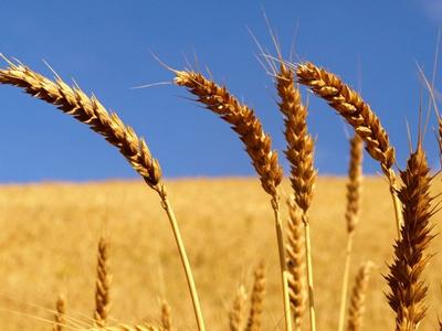 Harmonizar os limites de agroquímicos no trigo será uma das propostas ao MAPA