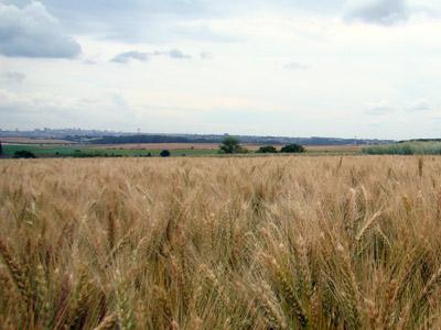 Trigo da Embrapa é opção de inverno produtiva para produtores do Paraná