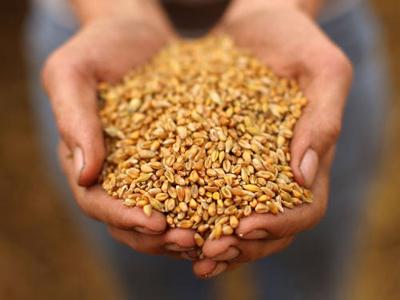 Epamig pesquisa sementes para o cultivo do trigo em Minas