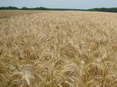 Trigo tem cenário positivo para as culturas de inverno