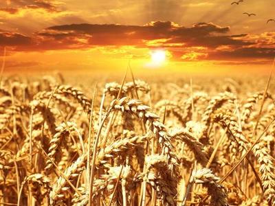 Brasil compra o equivalente a 5 navios de trigo nos EUA em uma semana