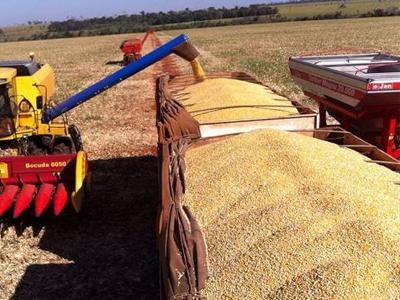 Trigo: Colheita derruba preços no Paraná