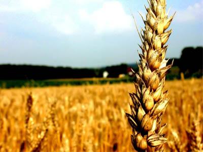 Brasil terá de ampliar importação do cereal este ano
