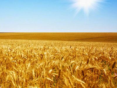 Plantio de trigo avança no Paraná, mas área será menor