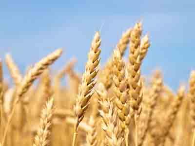 TRIGO/CEPEA: Cotações do farelo e das farinhas caem com força