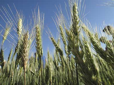 Brasil buscará abrir cota sem taxa para trigo de fora do Mercosul