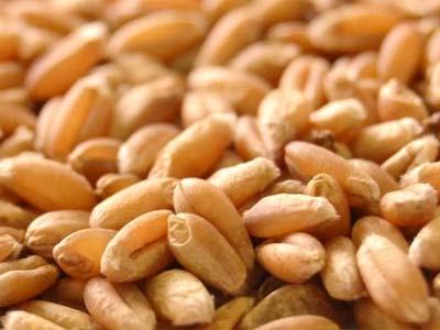 Novas operações da Conab apoiam produtores de trigo