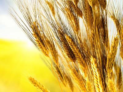 Trigo avança sobre 21,4% da área estimada na Argentina
