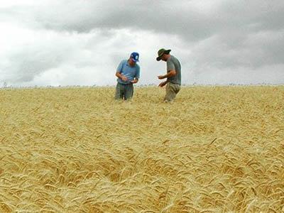 51% do trigo na Argentina está afetado pelos excessos hídricos, diz Bolsa de Buenos Aires