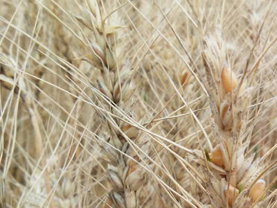 Trigo: Apesar da proximidade da colheita, preço alcança o maior patamar do ano