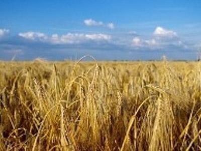Análise semanal do mercado do trigo