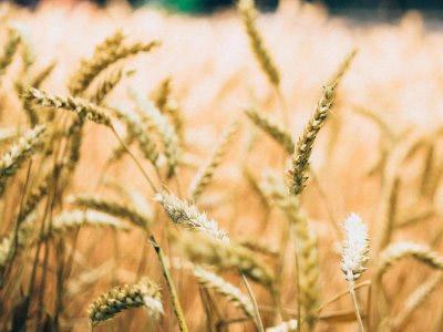 Conheça as propriedades do trigo e seus benefícios como alimento