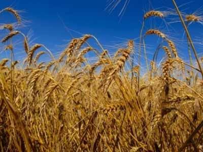 Minas Gerais se destaca na produção de trigo
