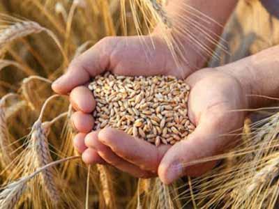 Cepea: mercado interno de baixa liquidez deixa cotações do trigo estáveis