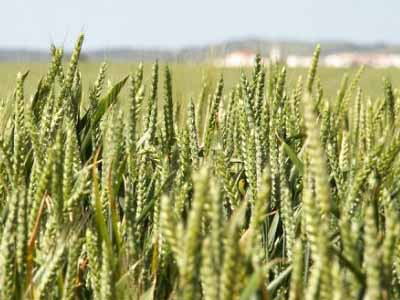 Onda de frio prejudica produção de trigo de inverno nos EUA