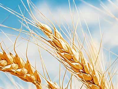 RS: Produção e produtividade do trigo caem pela metade no Estado