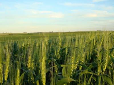 Novo preço mínimo do trigo fica abaixo do esperado pelos produtores