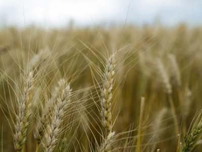 Começa a safra de trigo no Brasil Central