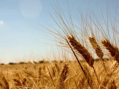 Oferta argentina pressiona mercado de trigo no Brasil, avalia Abitrigo