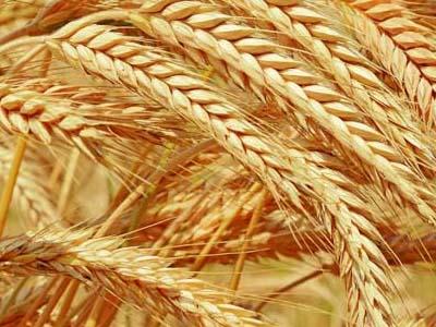 Produtores querem vender trigo para liberar espaço para safra de verão