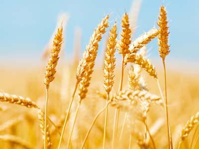 Egito compra, em leilão, 420 mil toneladas de trigo da Rússia, Ucrânia e França