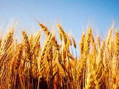Argentina tem 8,2% do trigo colhido, com 1,1% de atraso em relação à safra 2016/17