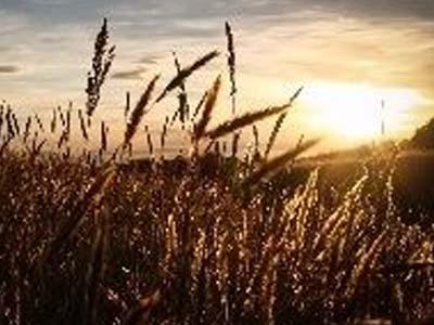 Cotações do trigo em Chicago se mantiveram muito próximas dos US$ 5,00/bushel