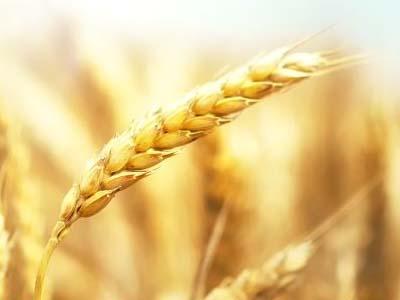 TRIGO: Importação diminui, elevando liquidez e valor do trigo no BR