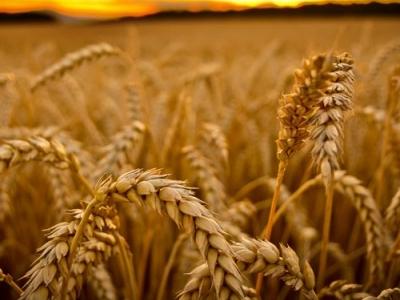 7 dicas para o manejo do cultivo do Trigo