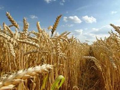 Plantio de trigo da Rússia é beneficiado por clima; área será a maior em 7 anos