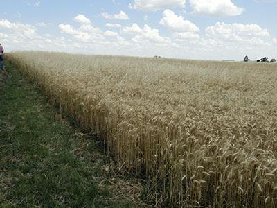 Egito cancela 3º leilão de compra de trigo por política contra fungo