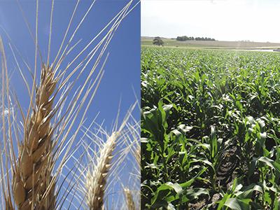Sucessão trigo-soja produz mais grãos