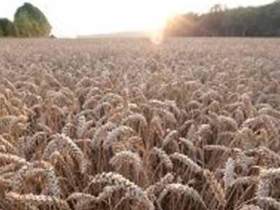 Europa deve aumentar produção de trigo até 2030
