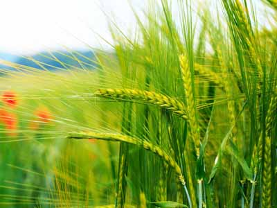 Argentina finaliza colheita do trigo com safra recorde de 17 mi de toneladas