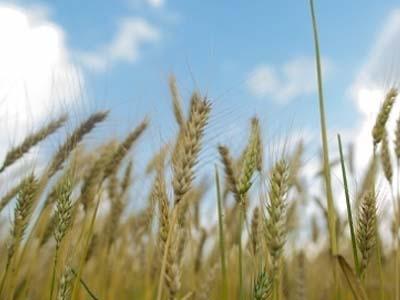 Demanda mundial por trigo é sinal para o Brasil