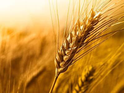 Exportação de trigo cresce 26% na Argentina