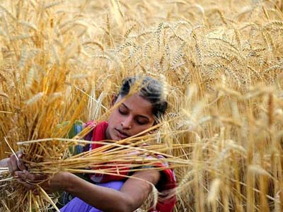 Índia prevê produção maior de trigo na safra 2016/17