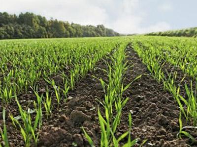 Argentina: por conta das condições, produtores devem ter maior adesão ao trigo no centro-norte de Santa Fé