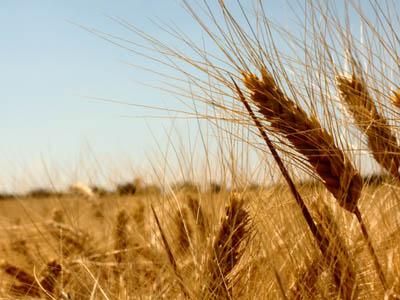 Importação de trigo dos EUA deve ficar próxima de 500 mil toneladas