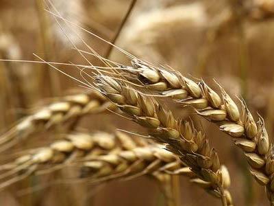 Mesmo com trigo de alta qualidade, Brasil vai importar metade do que consome