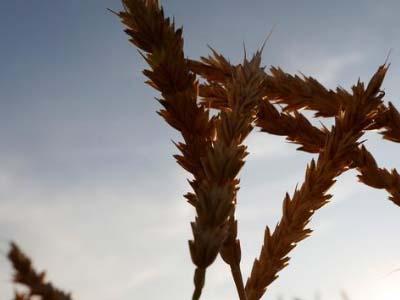 Chuvas colocam em risco safra 2018 de grãos na Rússia