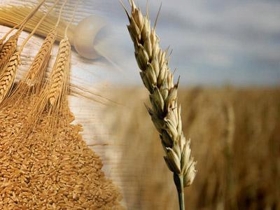 Ministério pede cota sem tarifa para importação de trigo de fora do Mercosul