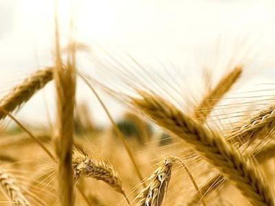 Com mais de 18,1 mi ha de área estimada, Rússia deve ter outra safra recorde de trigo