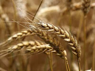 Conheça a região do Brasil em que o trigo dá certo