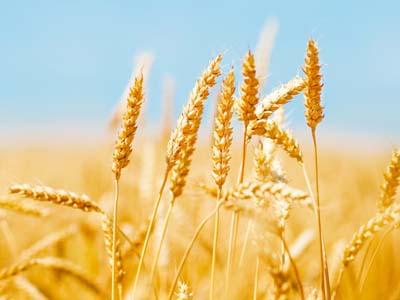 Importação de trigo argentino pelo Brasil deve subir para 4,5 mi t em 2017, diz Bunge