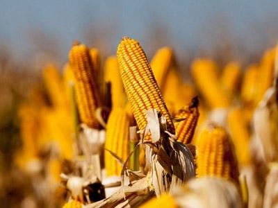 IGC eleva previsão de safra global de trigo e corta projeção para milho