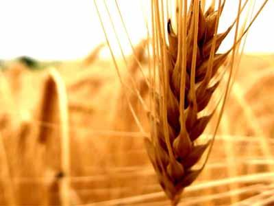 RS tem trigo único para o Brasil