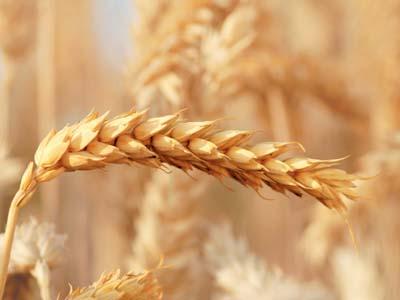 Argentina: trigo sofre danos por geadas em Córdoba