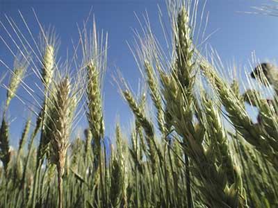 Trigo fecha ano em queda de 13% nos EUA; soja sobe 14%