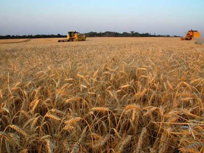 Colheita de trigo avança no Uruguai com bons resultados primários